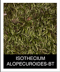 ISOTHECIUM-ALOPECUROIDES-BT.png