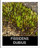 FISSIDENS-DUBIUS.png