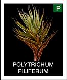 POLYTRICHUM-PILIFERUM.png
