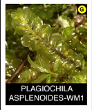 PLAGIOCHILA-ASPLENOIDES-WM1.png