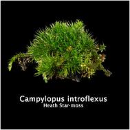 CAMPYLOPUS INTROFLEXUS.png