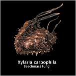 Xylaria carpophila.png