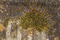 Tortula muralis -  Wall Screw-moss - Gravestone,Derbyshire