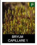 BRYUM--CAPILLARE-1.png