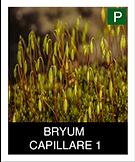 BRYUM--CAPILLARE-1.png