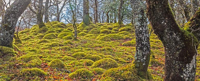 Moss laden boulders - Balindore, Lorn, Scotland.