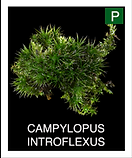 CAMPYLOPUS-INTROFLEXUS.png