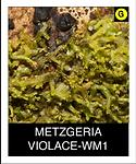 METZGERIA-VIOLACE-WM1.png