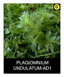 PLAGIOMNIUM-UNDULATUM-AD1.png