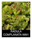 RADULA-COMPLANATA-WM1.png