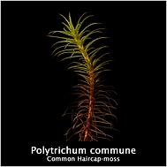 Polytichum commune.png