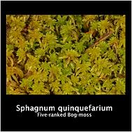 Sphagnum quinquefarium.png
