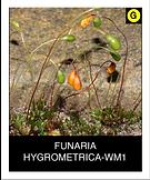 FUNARIA-HYGROMETRICA-WM1.png