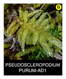 PSEUDOSCLEROPODIUM-PURUM-AD1.png