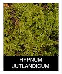 HYPNUM-JUTLANDICUM.png