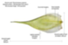 Microscope image of single leaf with data - Rhytidiadelphus squarrosus - Springy Turf-moss - Derbyshire