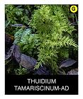THUIDIUM-TAMARISCINUM-AD.png