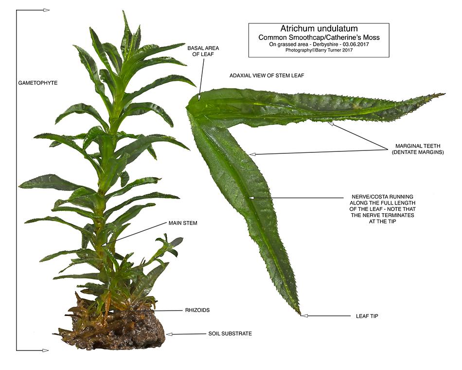 Atrichum undulatum - Common Smoothcap/St Catherine's Moss