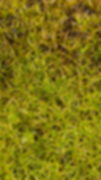 Barbula unguiculata - Bird's-claw Beard-moss