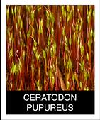 CERATODON-PURPUREUS.png