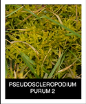 PSEUDOSCLEROPODIUM-PURUM-2.png