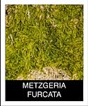 METZGERIA-FURCATA.png