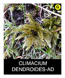 CLIMACIUM-DENDROIDES-AD.png