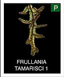 FRULLANIA-TAMARISCI-1.png