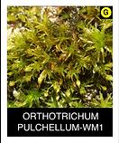 ORTHOTRICHUM-PULCHELLUM-WM1.png