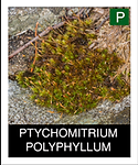 PTYCHOMITRIUM-POLYPHYLLUM.png