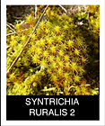 SYNTRICHIA-RURALIS-2.png