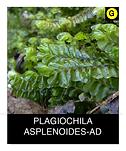 PLAGIOCHILA-ASPLENOIDES-AD.png