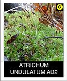 ATRICHUM-UNDULATUM-AD2.png