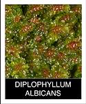 DIPLOPHYLLUM-ALBICANS.png