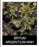 BRYUM-ARGENTIUM-WM1.png
