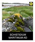 SCHISTIDIUM-MARITIMUM-AD.png