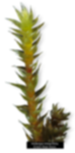 Photograph if Hedwigia integrifolia - Green Hoar-moss