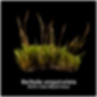 Barbula unguiculata.png