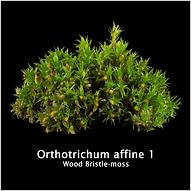 Orthotrichum affine 1.png