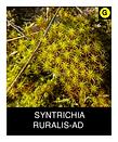 SYNTRICHIA-RURALIS-AD.png