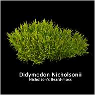 Didymodon nicholsonii.png