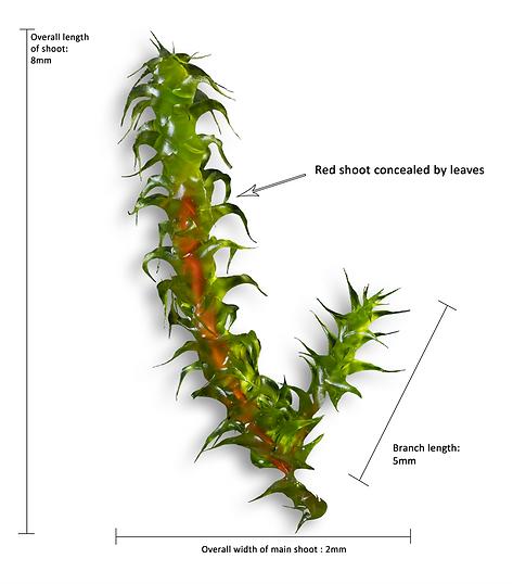 Wet shoot with red stem -  Rhytidiadelphus squarrosus - Springy Turf-moss - Derbyshire