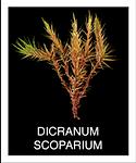 DICRANUM-SCOPARIUM.png