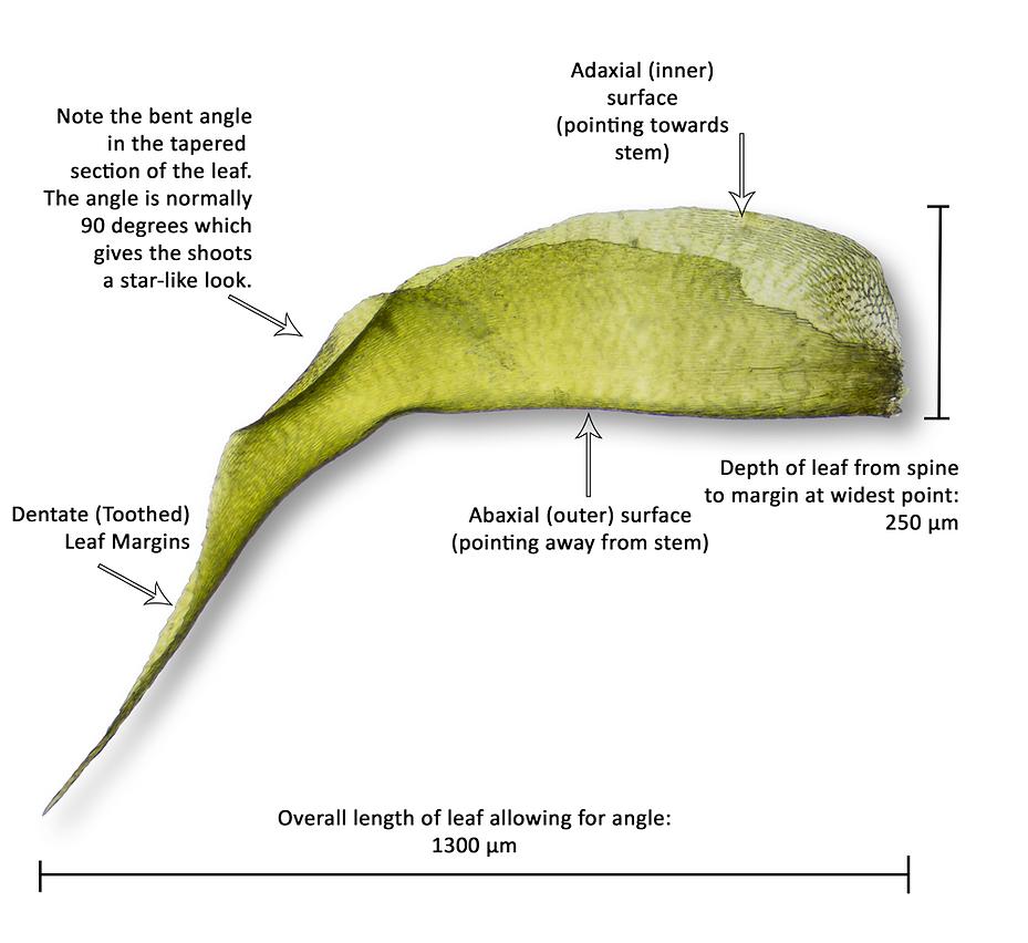 Close-up of stem leaf with data - Rhytidiadelphus squarrosus - Springy Turf-moss - Derbyshire