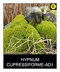 HYPNUM-CUPRESSIFORME-AD1.png