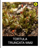 TORTULA--TRUNCATA-WM2.png