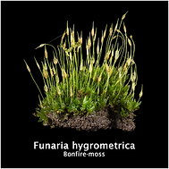 Funaria hygrometyrica.png