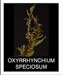 OXYRRHYNCHIUM-SPECIOSUM.png