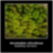 Anomodon viticulosus.png
