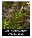 ORTHOTRICHUM-LYELLii-WM2.png